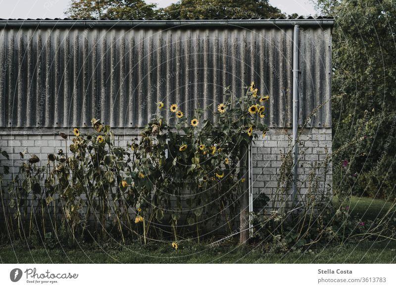 Sonnenblumen die an einer alten Garage wachsen Wand Farbfoto Außenaufnahme Fassade Bauwerk Menschenleer Gebäude Tag trist Mauer gelb Sommer grau Pflanze
