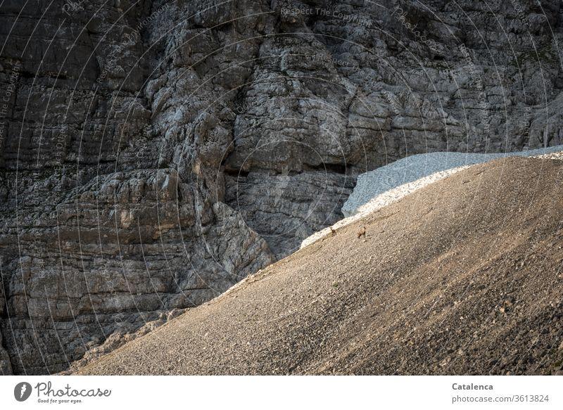 An der Felswand, unterhalb vom Eisfeld stehen zwei Gämse im Geröll Alpen Berge u. Gebirge Geröllfeld Felsen Alpin Tiere Landschaft Menschenleer Umwelt Schnee