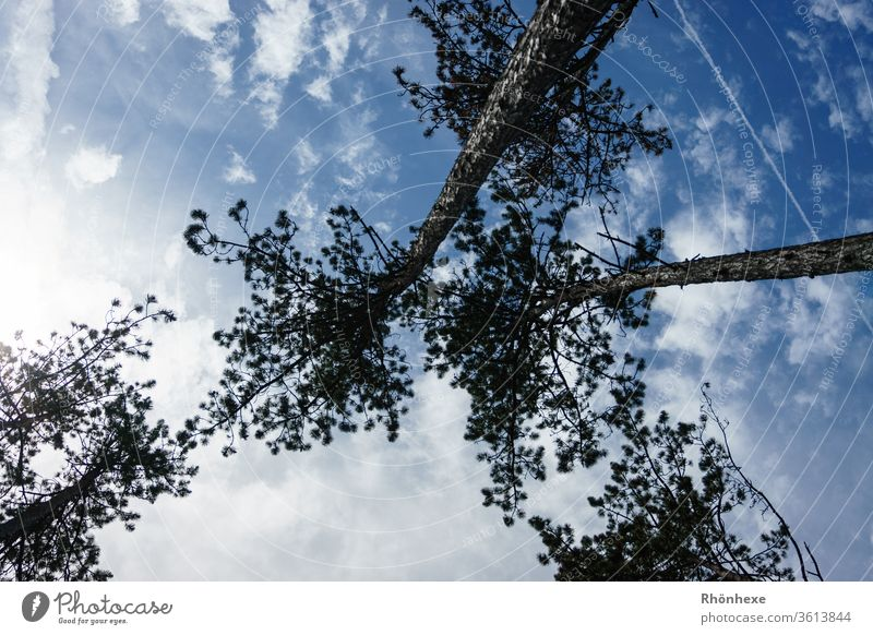 Birken die gen Himmel wachsen Baum himmelblau himmelwärts Pflanze Baumkrone Blauer Himmel Farbfoto Außenaufnahme Menschenleer Tag Schönes Wetter Umwelt Wolken