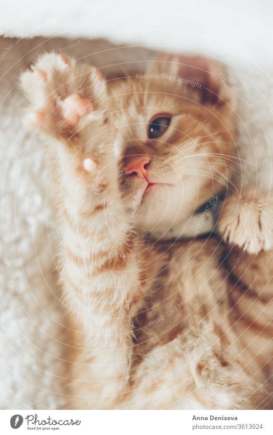 Süßes Ingwer-Kätzchen schläft Katzenbaby niedlich sich[Akk] entspannen Decke Haustier Baby heimwärts gemütlich Komfort aussruhen fluffig schlafen bezaubernd