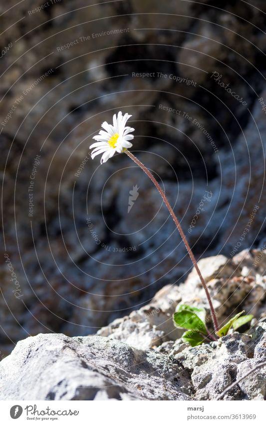 Hochalpines Gänseblümchen spielt Mauerblümchen Alpenmaßliebchen Korbblütler Blume weiß gelb alleine freistehend Überlebenskünstler Natur schön Blüte