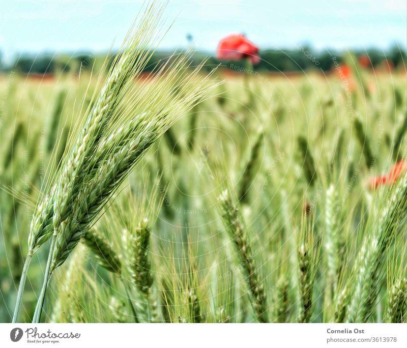 Getreidefeld im Sonnenlicht mit Mohnblumen im Hintergrund. Weizen Feld Sommer Korn Ähren Landwirtschaft Ernte Kornfeld Natur Weizenfeld Außenaufnahme Ernährung