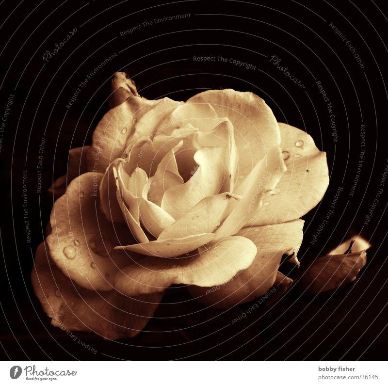 fette rose schön Blume Pflanze Rose Stachel Sepia
