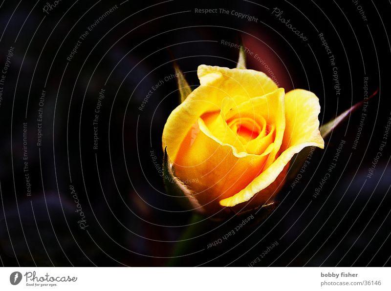 rose glühend schön Blume Pflanze schwarz gelb orange Rose