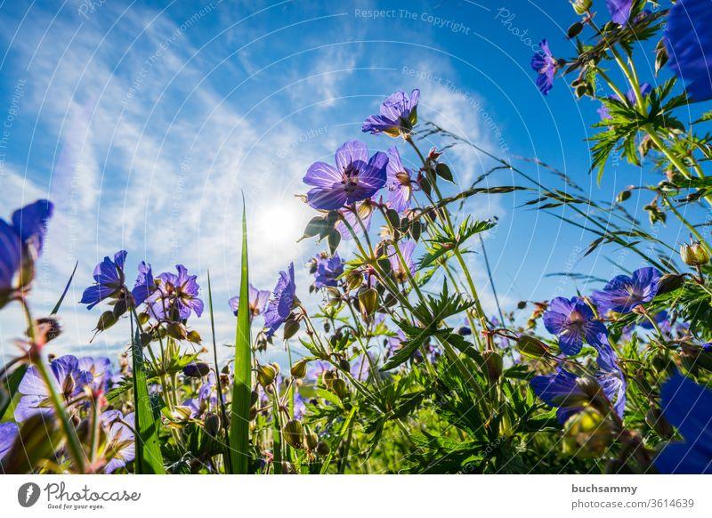 Wiesenstorchenschnabel in eieer Wiese Blaues Schabelkraut Blume Pflanze Blüte Botonik Geranium Pratense Gewächs Lichtstimmung Lila Natur Ohne Menschen