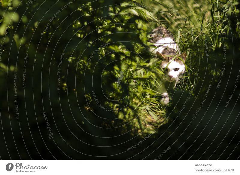Stubentiger in der Gartenwildnis Sommer Gras Sträucher Wiese Haustier Katze 1 Tier entdecken schleichen Farbfoto Außenaufnahme Textfreiraum links Tag Licht