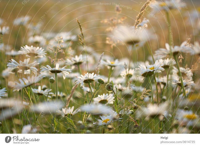 Nahaufnahme einer Margaritenwiese in der Abendsonne Blume Blüte Blumenwiese Sonnenlicht Gegenlicht Grashalm Knospen leuchten Pflanze Natur Farbfoto