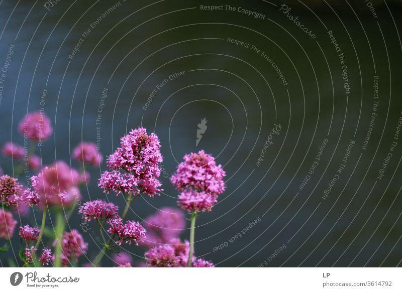 violette Blumen auf dunklem, wässrigem Hintergrund purpur Natur Wasser Blüte Pflanze Farbfoto Blütenblatt grün Nahaufnahme Detailaufnahme Blühend Sommer