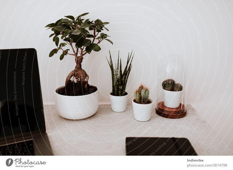 Schreibtisch im Home-Office mit Pflanzen-Notebook und Laptop Heimarbeitsplatz Hausgartenarbeit Dekoration & Verzierung Botanik Zimmerpflanze Kakteen Bonsai-Baum