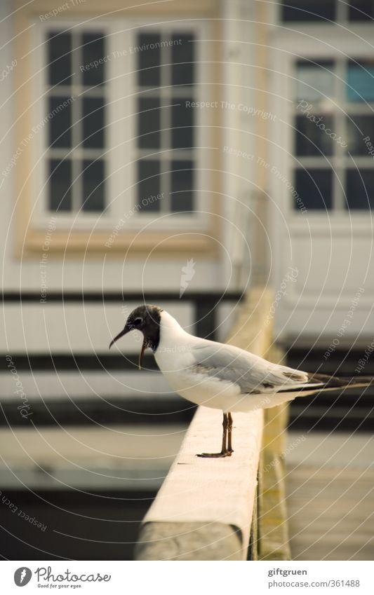 ich sag ja nur... Meer Tier Fenster Auge Küste Vogel Wildtier Feder Geländer Möwe schreien Schnabel Aufregung Seebrücke Lachmöwe schimpfen