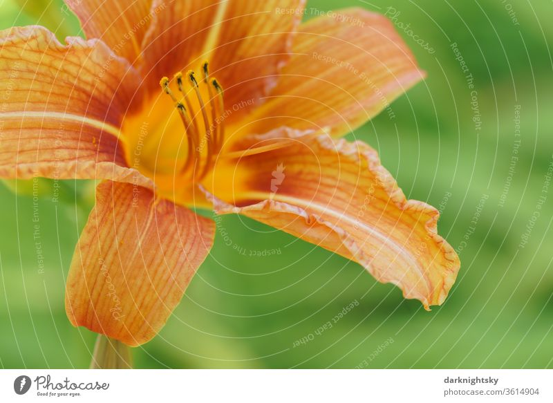 Taglilien (Hemerocallis), Hemerocallis-Hybride in voller Blüte Lilie orangene Makro Detail sommerliche Nahaufnahme Garten Staubfäden Pollen Heilung Pflanze