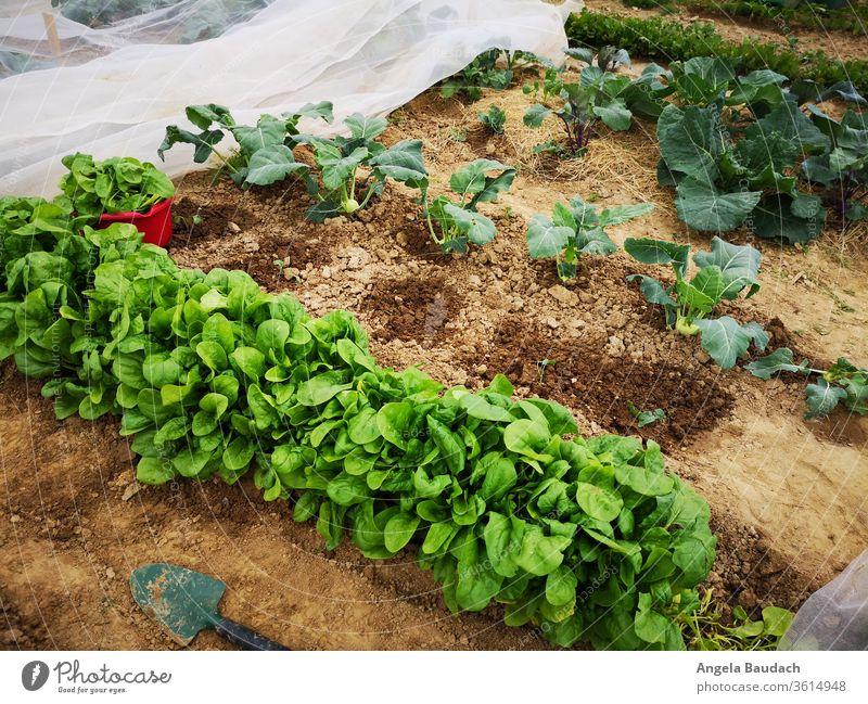 eigenes Bio-Gemüse anbauen: Spinat, Kohlrabi Spinatblatt Kohlrabipflanze Garten Gemüsegarten Gemüseanbau Vegetarische Ernährung Kürbisse Bioprodukte