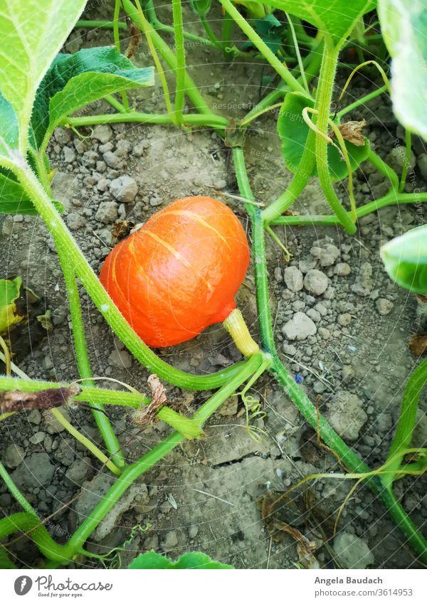 eigenes Bio-Gemüse anbauen: Hokkaido / Kürbis Garten Gemüsegarten Gemüseanbau Vegetarische Ernährung Kürbisse Bioprodukte Lebensmittel frisch Gesundheit