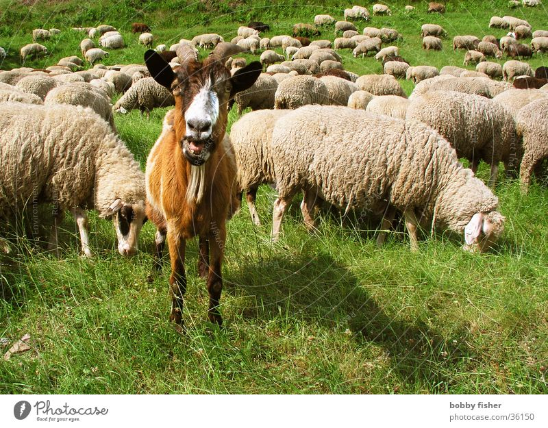 bock zum gärtner Bock Schaf Ziegen Vorgesetzter grün Tier ruhig Wachsamkeit