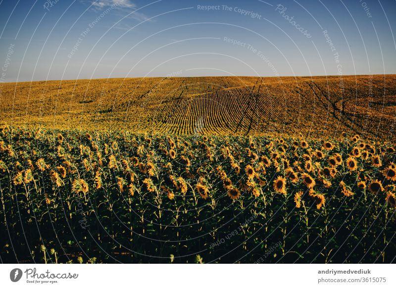 Schöne Sonnenblumen im Feld natürlicher Hintergrund, Sonnenblume blüht. gelb Blüte Blume Landschaft Natur Pflanze Ackerbau schön Überstrahlung Ernte Wiese Erdöl