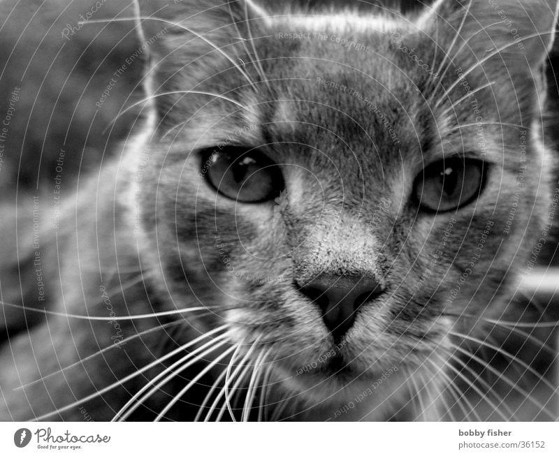 ich weiß alles Katze schwarz intensiv Verkehr Schwarzweißfoto Auge Blick