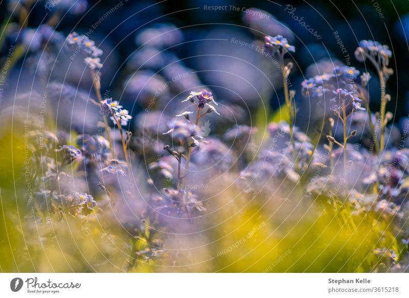 Flower Power Bokeh-Foto von Myosotis-Pflanzen, Flora mit blauen und gelben Pflanzen vor einem verschwommenen Hintergrund im Frühling. geblümt defokussiert Natur
