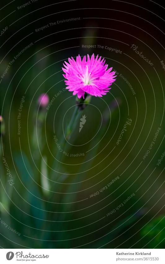 Rosa Dianthusblüte rosa Nelkengewächse grün Blume Farbe farbenfroh Sommer Frühling Saison saisonbedingt geblümt Flora Pflanze Garten Gartenarbeit Nahaufnahme