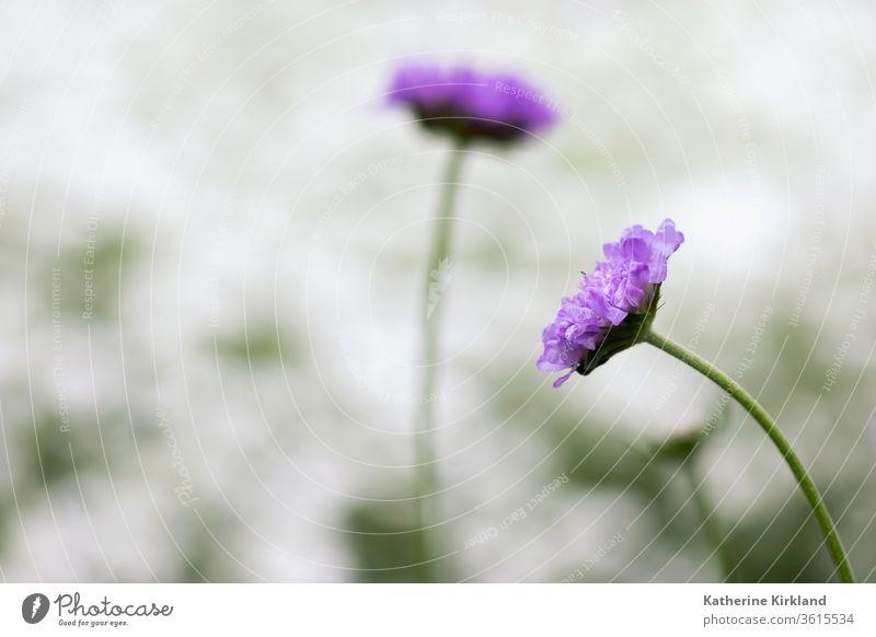 Violetter Nadelkissen-Blütenkopf purpur Blume Flora geblümt Frühling Sommer Saison saisonbedingt natürlich Natur Garten Gartenarbeit botanisch Pflanze scabiosa
