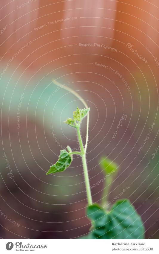 Junge Gurkenrebe grün Blätter Blatt Salatgurke Wein braun Keimling sprießen neu Leben jung Baby Nahaufnahme Veggie Vegetarier Gemüse Veganer Garten Gartenarbeit