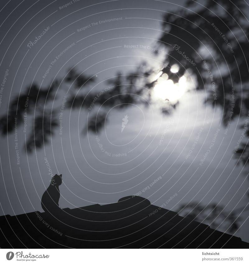 Howl Himmel Mond Vollmond Schönes Wetter Baum Dorf Kleinstadt Stadtrand Menschenleer Haus Dach Katze 1 Tier sitzen dunkel blau Figur gestellt Attrappe
