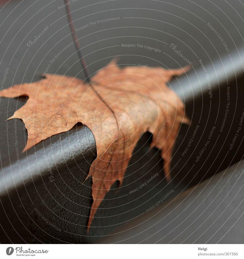 letzter Halt... Umwelt Natur Pflanze Herbst Blatt Ahornblatt Blattadern festhalten liegen ästhetisch authentisch außergewöhnlich natürlich braun Stimmung ruhig