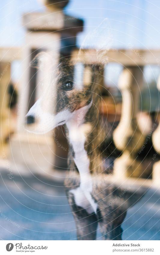 Süßer Hund schaut aus dem Fenster heimwärts ruhen Reflexion & Spiegelung Glas bezaubernd Haustier heimisch Eckzahn Tier Windstille gemütlich Whippet züchten