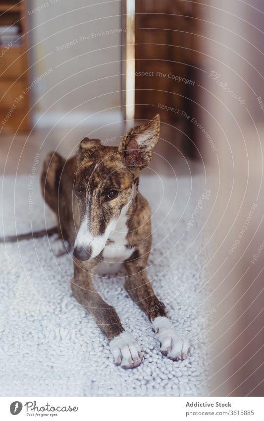 Süßer Hund auf Teppich liegend heimwärts gemütlich Komfort weich ruhen Lügen Stock Raum Haustier heimisch Tier sich[Akk] entspannen Whippet Eckzahn niedlich
