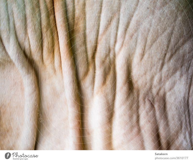 Nahaufnahme der Textur der Kuhhaut Haut Tier Oberfläche Bauernhof weiß Bräune Hintergrund Leder Bulle Rind bovin Design Natur abstrakt merkwürdig