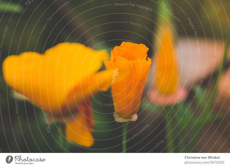 Goldmohn / kalifornischer Mohn / Schlafmützchen / Eschscholzia californica kalifornischer Kappenmohn Blume Blüte blühend Blütenknospe orange Natur Sommer