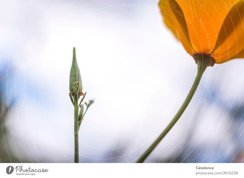Es ist wieder soweit; Montag  mit Mohn verblühen schönes Wetter Umwelt Sommer gelb grün Natur Mohnblüte Blüte Blume Pflanze Flora gelber Mohn Mohnkapsel