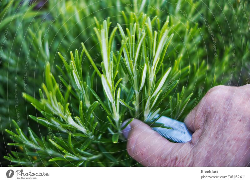Rosmarin  wird mit dem Messer von Frau/Mann geschnitten Rosmarin, Kräuter & Gewürze Duft frisch grün Bioprodukte, Lebensmittel Pflanze Ernährung Gesundheit