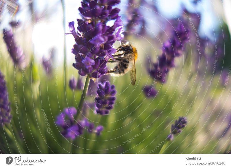 Wildbiene sammelt Honig und Pollen an Lavendelblüten Biene Honig, Nektar Sommer Makroaufnahme fliegen Außenaufnahme Tier Wildtier Tierporträt gesund,