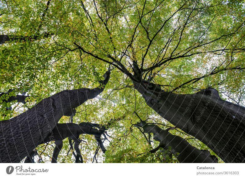 Unter dem grünen Blätterdach einer alten, hohen Buche ist es angenehm frisch Flora Pflanze Wald Äste Buchenblatt hoch Baum Blatt Zweige u. Äste Natur Sommer