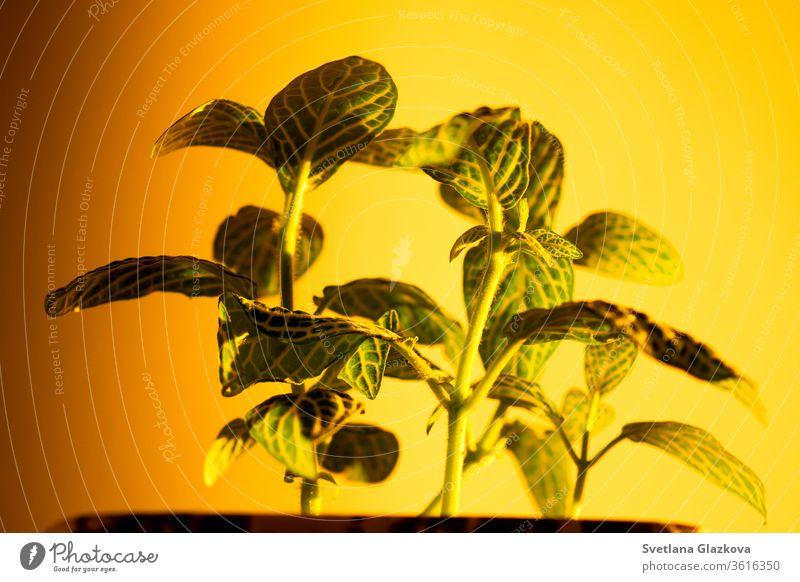 Das Spiel der untergehenden Sonne und der Schatten der Zimmerpflanzen an der gelben Wand Pflanze heimwärts Gartenarbeit Blume Topf spielen Licht Sonnenuntergang