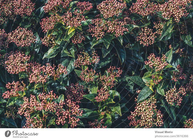 Blütenknospen und immergrüne Blätter eines Viburnum tinus-Strauches Blumen botanisch Botanik Flora geblümt blumig Knospen Garten organisch natürlich Natur Park