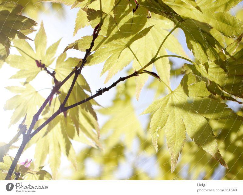 Blattwerk... Umwelt Natur Pflanze Sommer Schönes Wetter Baum Ahorn Ahornblatt Zweig Blattadern Park hängen leuchten Wachstum ästhetisch außergewöhnlich