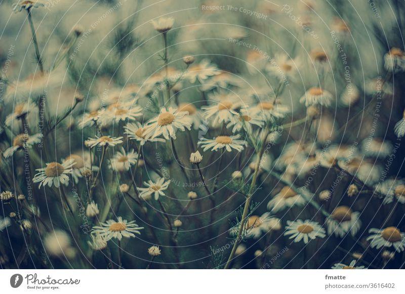 Kamilleblüten Kamillenblüten Sommer Blumen Natur Farbfoto Pflanze Außenaufnahme Blühend weiß Schwache Tiefenschärfe natürlich