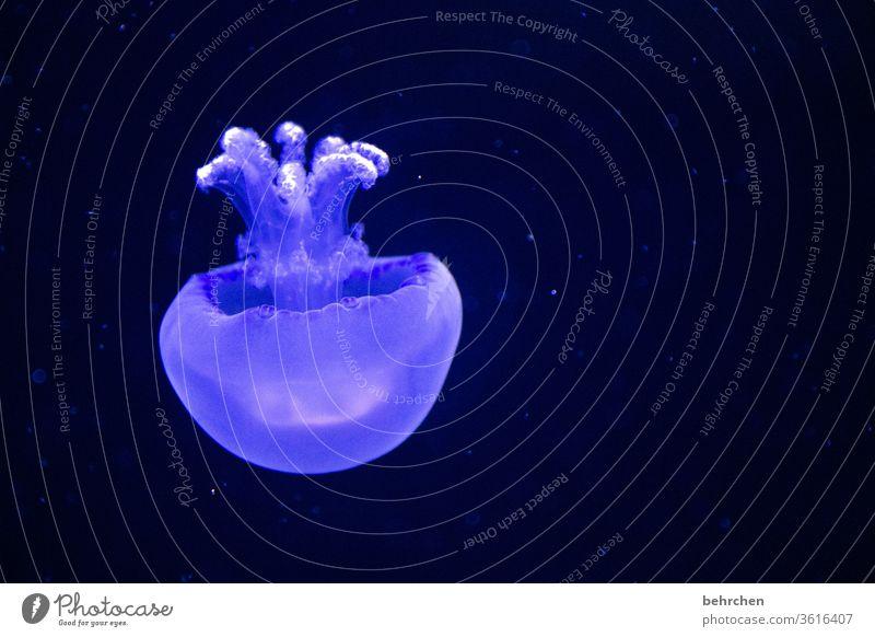 blue | freitagsqualli Tierporträt Unschärfe Kontrast Licht Menschenleer Detailaufnahme Nahaufnahme Farbfoto weich Tentakel Schwerelosigkeit Schweben blau schön