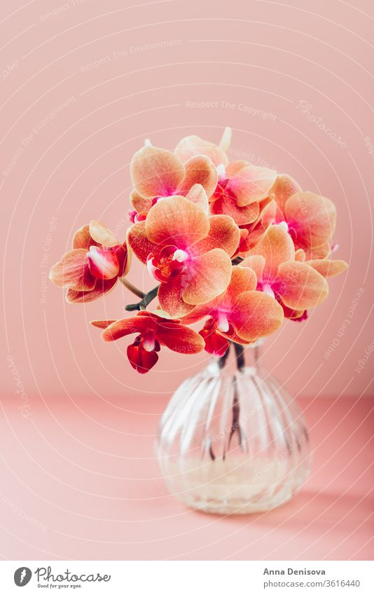 Orangefarbene Phalaenopsis-Orchideenpflanze Pflanze Blütezeit orange Motte Blume Makro Garten Blütenblatt grün tropisch Natur hell Dekoration & Verzierung