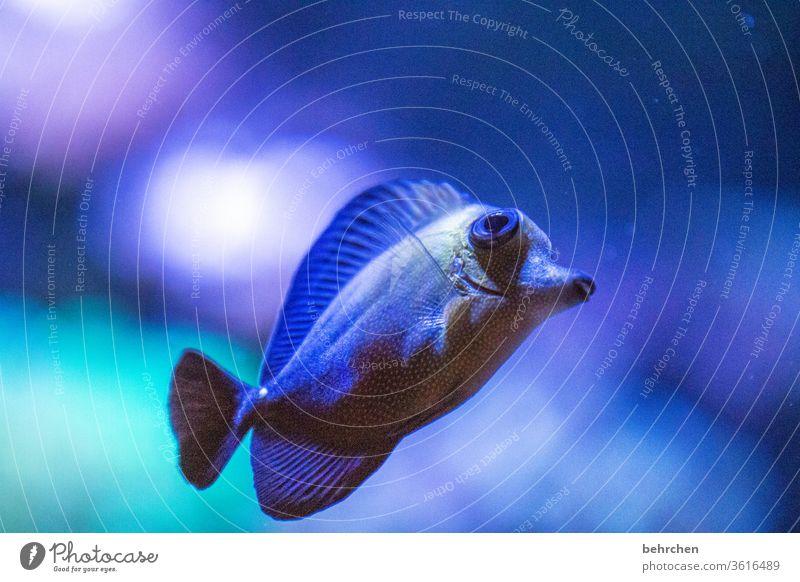 blubb | freitagsfischi Korallenriff flossen See Meer Wildtier Natur Menschenleer Tierporträt Unterwasseraufnahme Farbfoto Aquarium schwimmen Schuppen Fisch blau