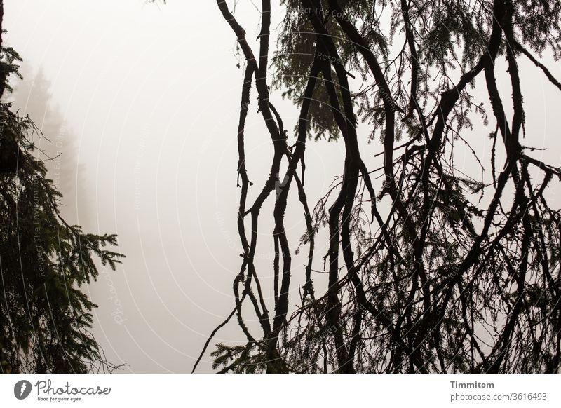 Bäume und Zweige im Nebel am Mummelsee Baum Fichte Äste und Zweige Nebelstimmung See Seeufer Außenaufnahme Natur Zweige u. Äste Wasser Herbst Menschenleer