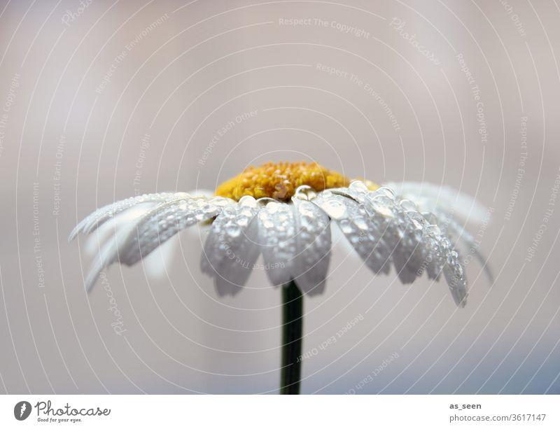 Margerite im Regen Margarite Blume Blüte weiß gelb Sommer grün Natur Pflanze Frühling Nahaufnahme Außenaufnahme Makroaufnahme Blühend Detailaufnahme Wiese