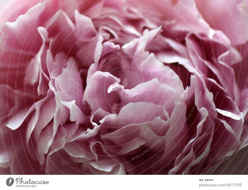 Rosa Pfingstrosenblüte Blüte pink Licht Schatten Blütenblätter Blume Natur rosa Frühling Sommer schön Farbfoto Nahaufnahme Blühend Menschenleer Blütenblatt