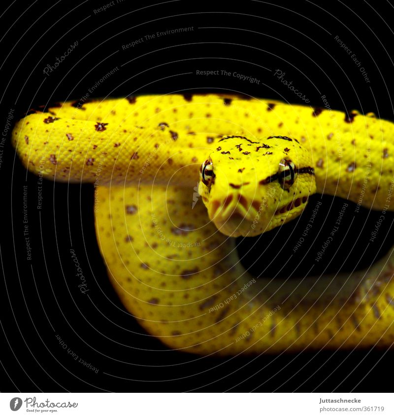 Babybaumpython Tier gelb Tierjunges Wildtier Armut warten gefährlich bedrohlich beobachten Wachsamkeit Haustier exotisch Aggression Schlange Feindseligkeit