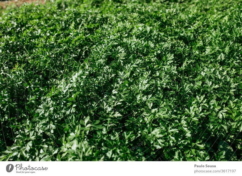 Petersilien-Plantage Kräuter & Gewürze Küchenkräuter Bioprodukte Biologische Landwirtschaft organisch Bauernhof Pflanze Schonung Gemüse frisch grün Garten