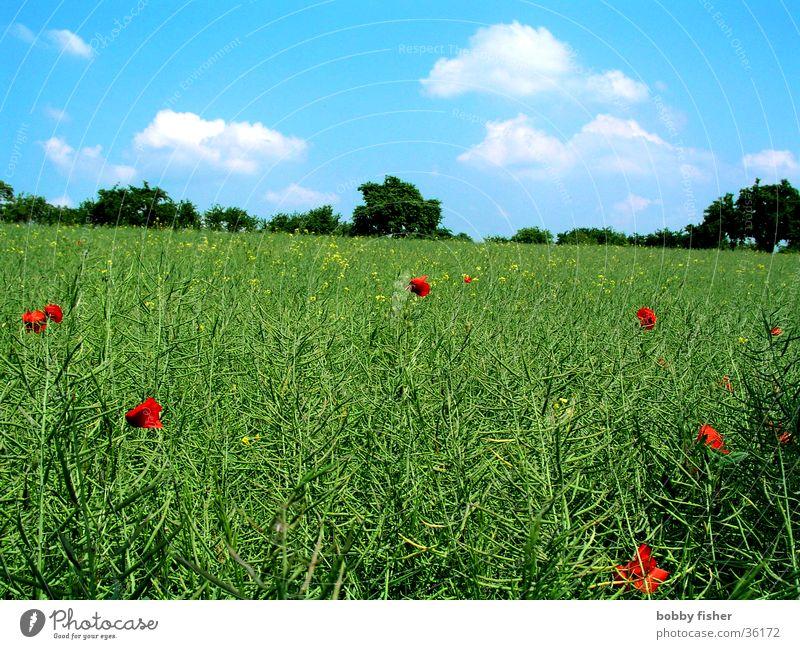blaugrün mit roten tupfen Himmel grün blau rot Wolken Wiese Feld Mohn Raps
