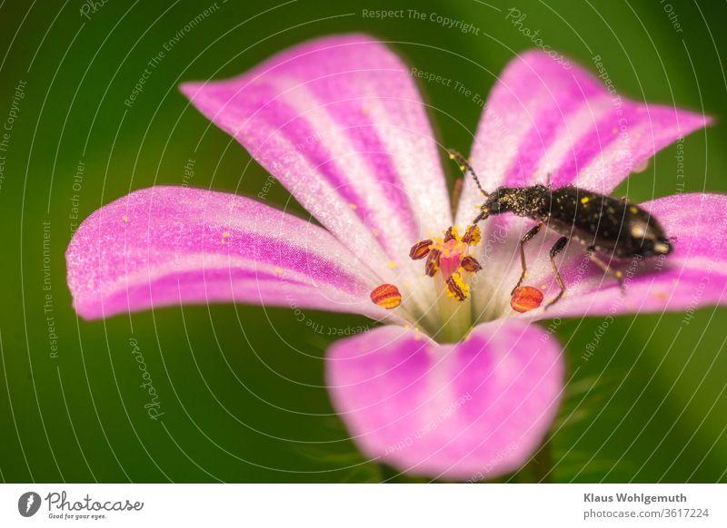 Käfer auf Blüte vom Ruprechstkraut Ruprechtskraut Stinkender Storchschnabel Makro Sommer Pollen Tier Blütenkelch weiß rosa grün Wald Botanik blühen fressen