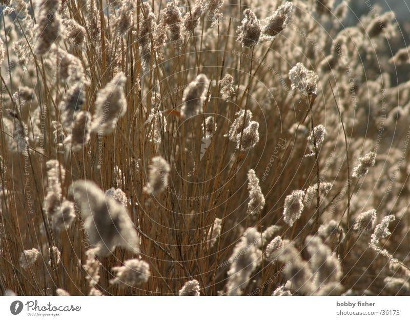 gegenlicht Wind weich Schilfrohr Moor