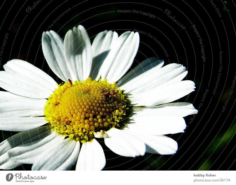 gänseplümchen weiß Blume gelb Gänseblümchen